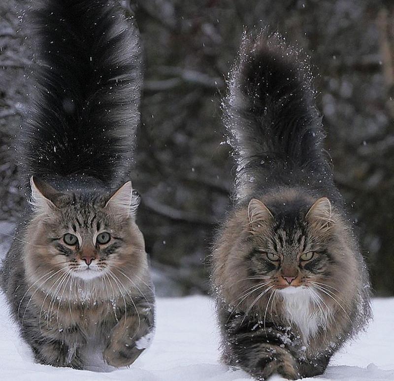 сибирская кошка правила кормления